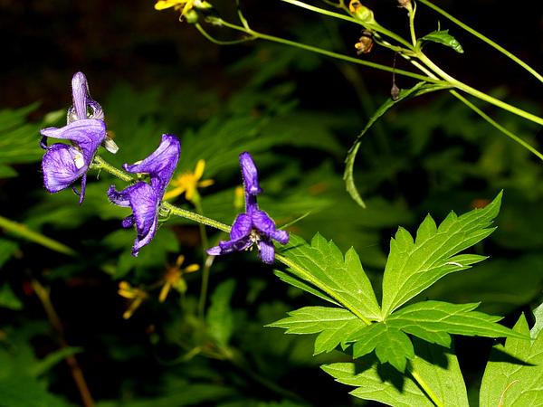 Columbian Monkshood (Aconitum Columbianum) http://www.sagebud.com/columbian-monkshood-aconitum-columbianum