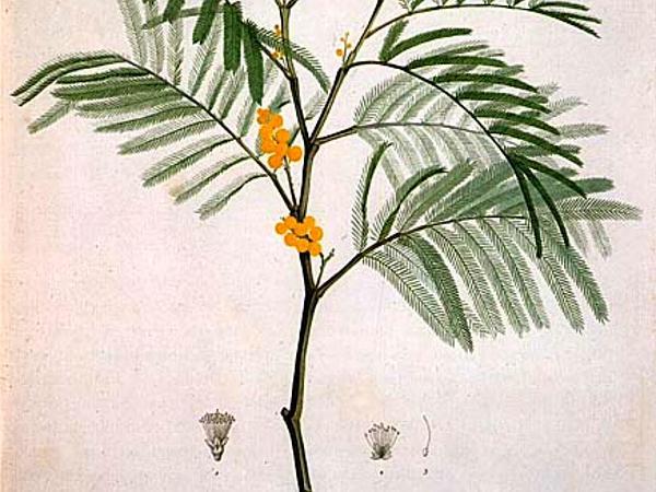 Green Wattle (Acacia Decurrens) http://www.sagebud.com/green-wattle-acacia-decurrens
