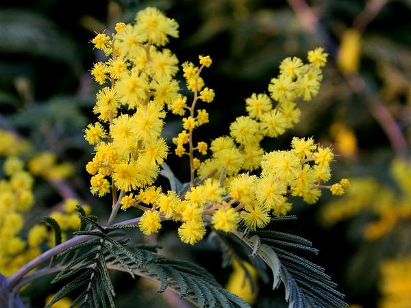 Silver Wattle (Acacia Dealbata) http://www.sagebud.com/silver-wattle-acacia-dealbata