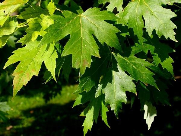 Maple (Acer) http://www.sagebud.com/maple-acer