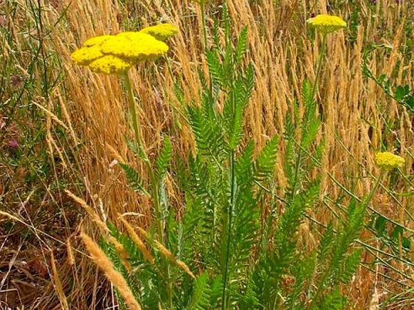 Fernleaf Yarrow (Achillea Filipendulina) http://www.sagebud.com/fernleaf-yarrow-achillea-filipendulina