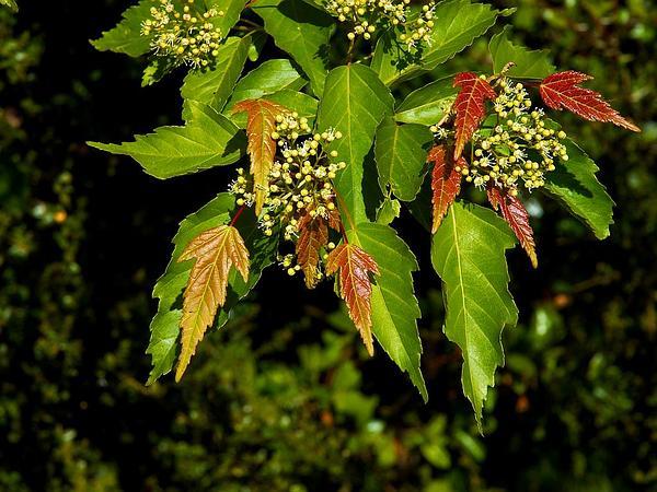 Amur Maple (Acer Ginnala) http://www.sagebud.com/amur-maple-acer-ginnala/