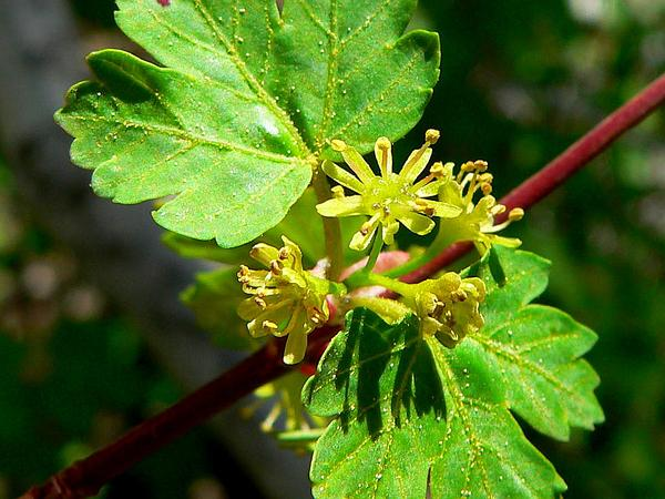 Rocky Mountain Maple (Acer Glabrum) http://www.sagebud.com/rocky-mountain-maple-acer-glabrum