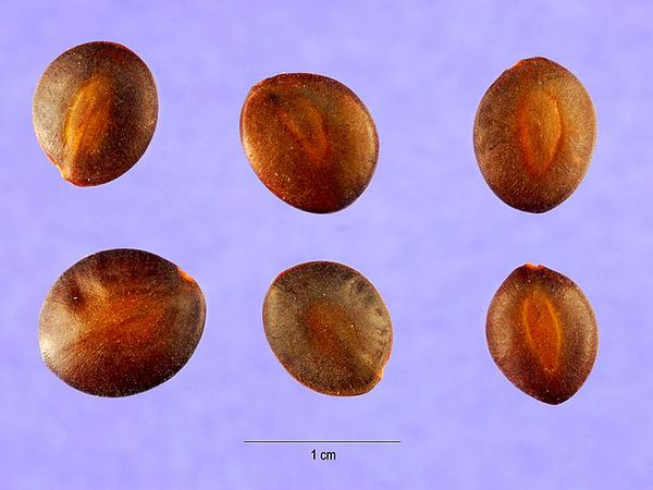 Catclaw Acacia (Acacia Greggii) http://www.sagebud.com/catclaw-acacia-acacia-greggii