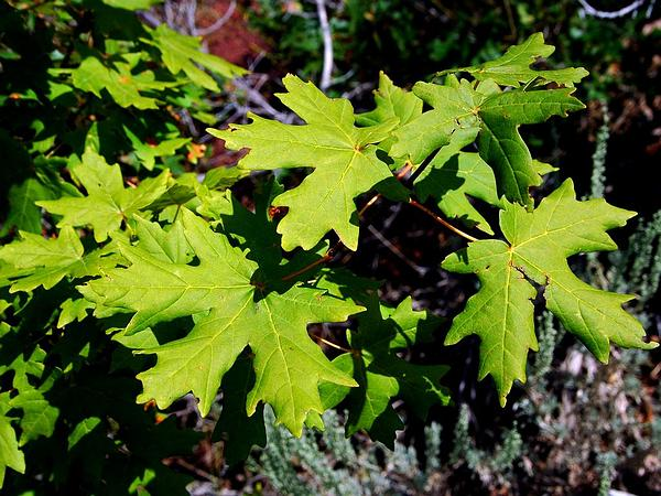 Bigtooth Maple (Acer Grandidentatum) http://www.sagebud.com/bigtooth-maple-acer-grandidentatum
