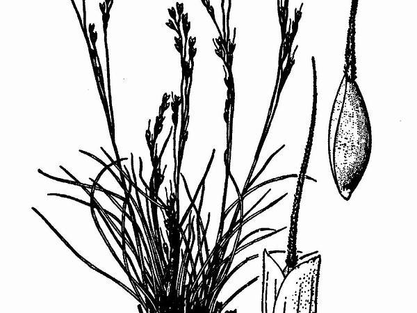 Henderson's Needlegrass (Achnatherum Hendersonii) http://www.sagebud.com/hendersons-needlegrass-achnatherum-hendersonii/