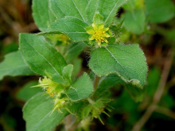 Hispid Starbur (Acanthospermum Hispidum) http://www.sagebud.com/hispid-starbur-acanthospermum-hispidum