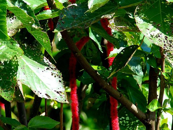 Red-Hot Cat's Tail (Acalypha Hispida) http://www.sagebud.com/red-hot-cats-tail-acalypha-hispida