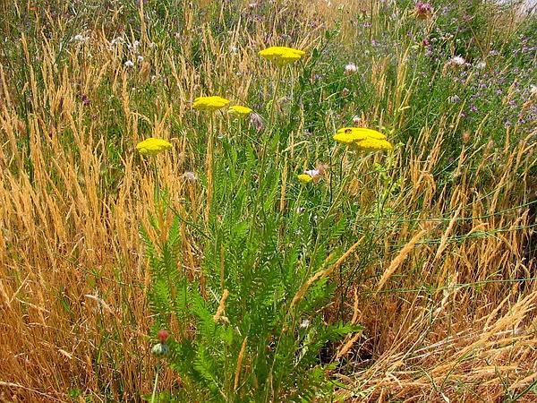 Yarrow (Achillea) http://www.sagebud.com/yarrow-achillea/