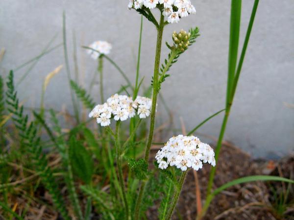 Yarrow (Achillea) http://www.sagebud.com/yarrow-achillea