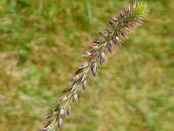 Chaff Flower (Achyranthes) http://www.sagebud.com/chaff-flower-achyranthes/