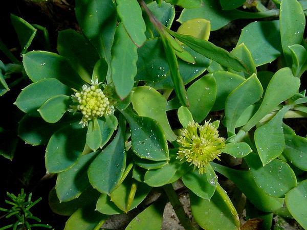 Acicarpha (Acicarpha) http://www.sagebud.com/acicarpha-acicarpha