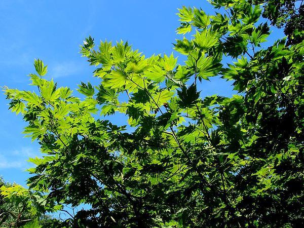 Amur Maple (Acer Japonicum) http://www.sagebud.com/amur-maple-acer-japonicum
