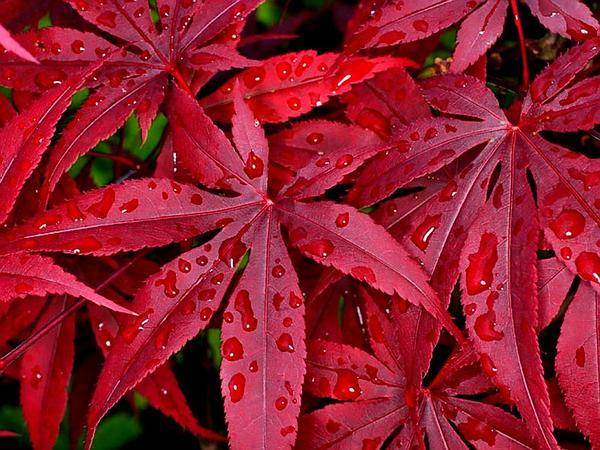 Amur Maple (Acer Japonicum) http://www.sagebud.com/amur-maple-acer-japonicum/