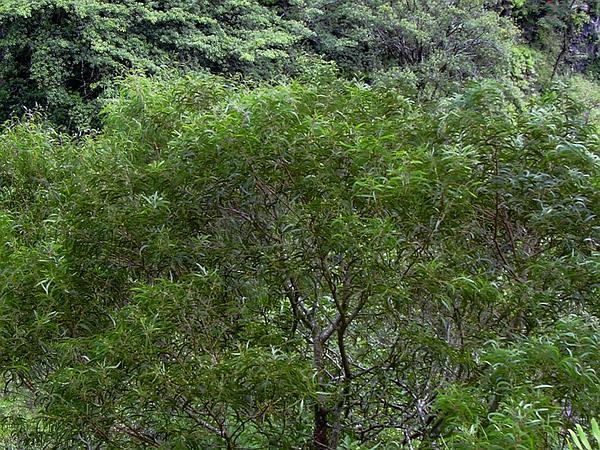 Koa (Acacia Koa) http://www.sagebud.com/koa-acacia-koa