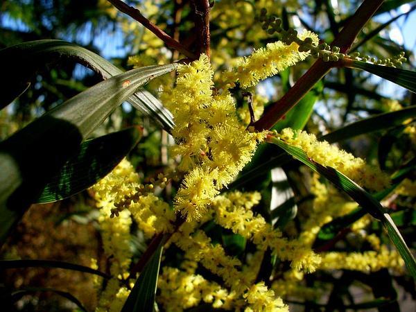 Sydney Golden Wattle (Acacia Longifolia) http://www.sagebud.com/sydney-golden-wattle-acacia-longifolia