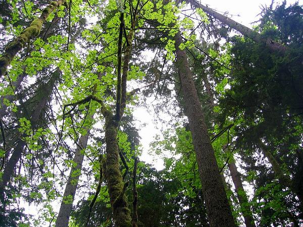 Bigleaf Maple (Acer Macrophyllum) http://www.sagebud.com/bigleaf-maple-acer-macrophyllum/