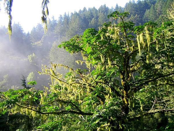 Bigleaf Maple (Acer Macrophyllum) http://www.sagebud.com/bigleaf-maple-acer-macrophyllum