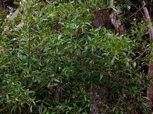 Blackwood (Acacia Melanoxylon) http://www.sagebud.com/blackwood-acacia-melanoxylon/