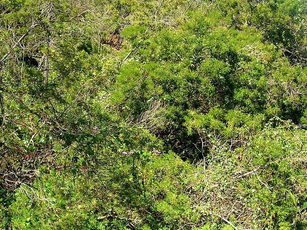 Black Wattle (Acacia Mearnsii) http://www.sagebud.com/black-wattle-acacia-mearnsii