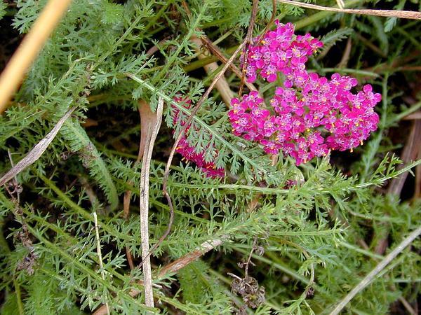 Common Yarrow (Achillea Millefolium) http://www.sagebud.com/common-yarrow-achillea-millefolium