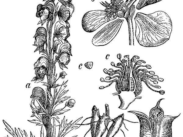 Venus' Chariot (Aconitum Napellus) http://www.sagebud.com/venus-chariot-aconitum-napellus