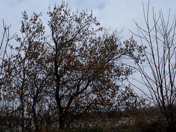 Boxelder (Acer Negundo) http://www.sagebud.com/boxelder-acer-negundo