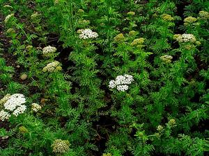 Noble Yarrow