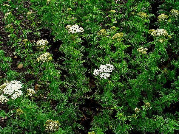 Noble Yarrow (Achillea Nobilis) http://www.sagebud.com/noble-yarrow-achillea-nobilis/