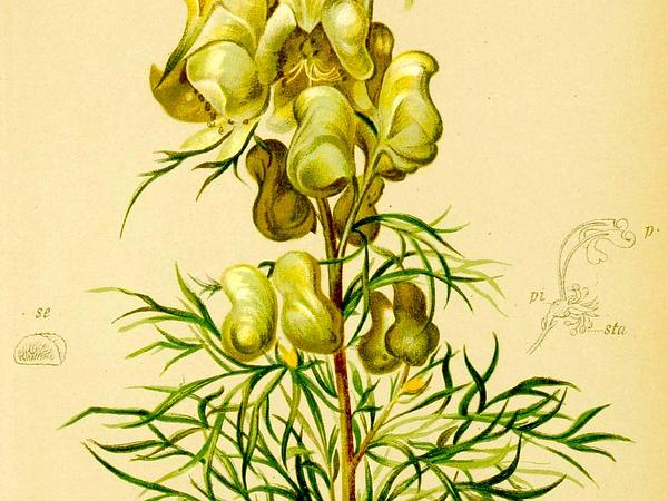 Monkshood (Aconitum) http://www.sagebud.com/monkshood-aconitum/