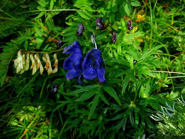 Monkshood (Aconitum) http://www.sagebud.com/monkshood-aconitum