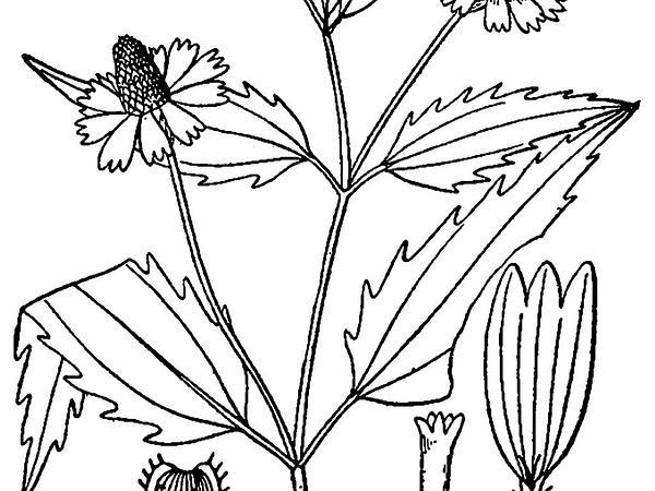 Oppositeleaf Spotflower (Acmella Oppositifolia) http://www.sagebud.com/oppositeleaf-spotflower-acmella-oppositifolia
