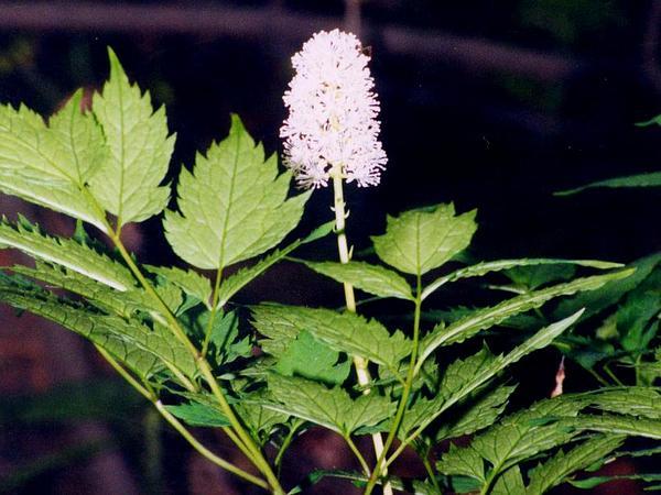 White Baneberry (Actaea Pachypoda) http://www.sagebud.com/white-baneberry-actaea-pachypoda