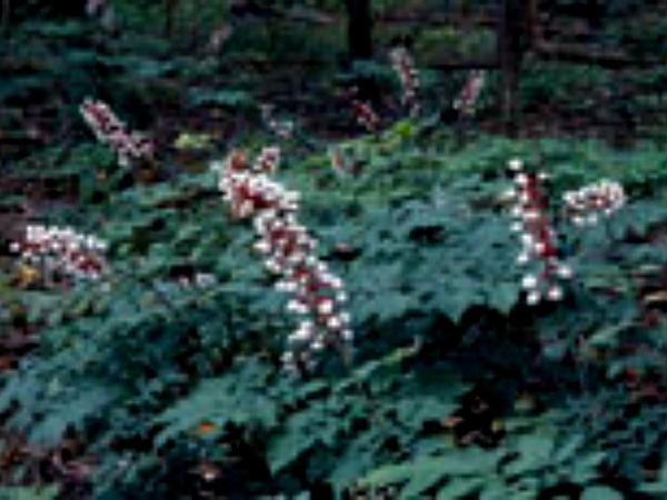 White Baneberry (Actaea Pachypoda) http://www.sagebud.com/white-baneberry-actaea-pachypoda/