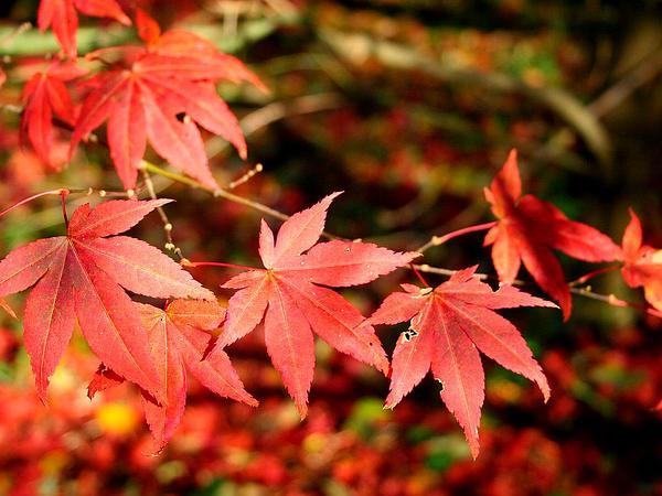 Japanese Maple (Acer Palmatum) http://www.sagebud.com/japanese-maple-acer-palmatum
