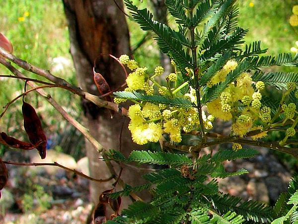 South Wales Wattle (Acacia Parramattensis) http://www.sagebud.com/south-wales-wattle-acacia-parramattensis