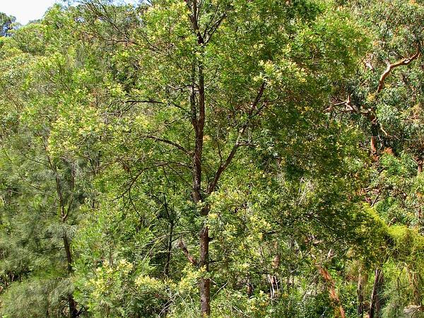 South Wales Wattle (Acacia Parramattensis) http://www.sagebud.com/south-wales-wattle-acacia-parramattensis