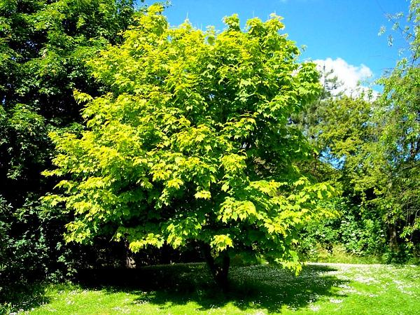 Striped Maple (Acer Pensylvanicum) http://www.sagebud.com/striped-maple-acer-pensylvanicum