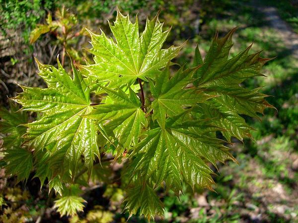 Norway Maple (Acer Platanoides) http://www.sagebud.com/norway-maple-acer-platanoides