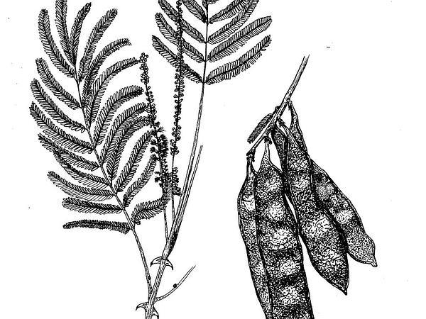 Catechu Tree (Acacia Polyacantha) http://www.sagebud.com/catechu-tree-acacia-polyacantha