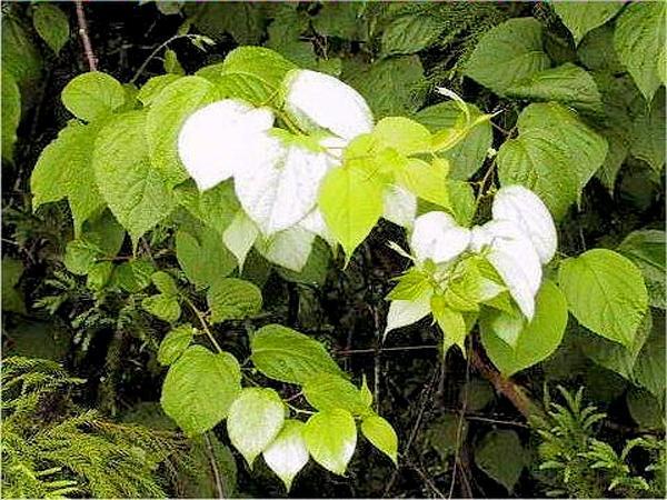 Silver Vine (Actinidia Polygama) http://www.sagebud.com/silver-vine-actinidia-polygama