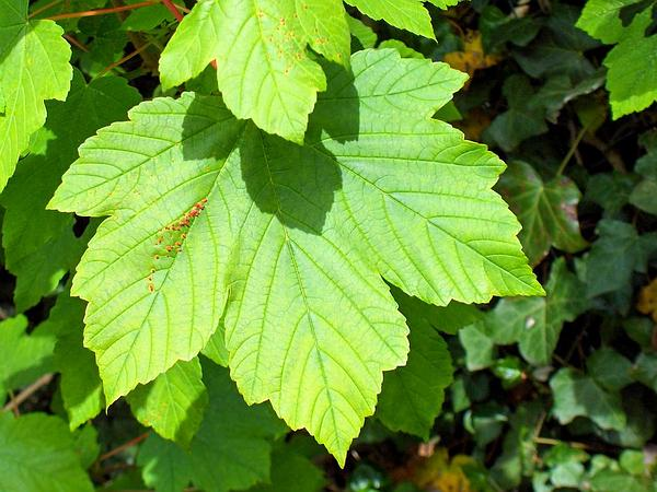 Sycamore Maple (Acer Pseudoplatanus) http://www.sagebud.com/sycamore-maple-acer-pseudoplatanus