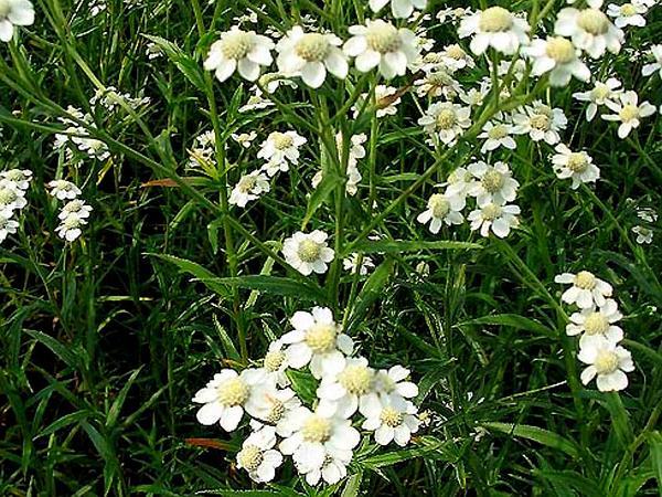 Sneezeweed (Achillea Ptarmica) http://www.sagebud.com/sneezeweed-achillea-ptarmica