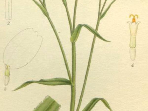Sneezeweed (Achillea Ptarmica) http://www.sagebud.com/sneezeweed-achillea-ptarmica/