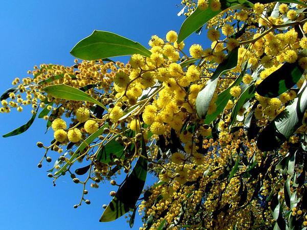 Golden Wattle (Acacia Pycnantha) http://www.sagebud.com/golden-wattle-acacia-pycnantha