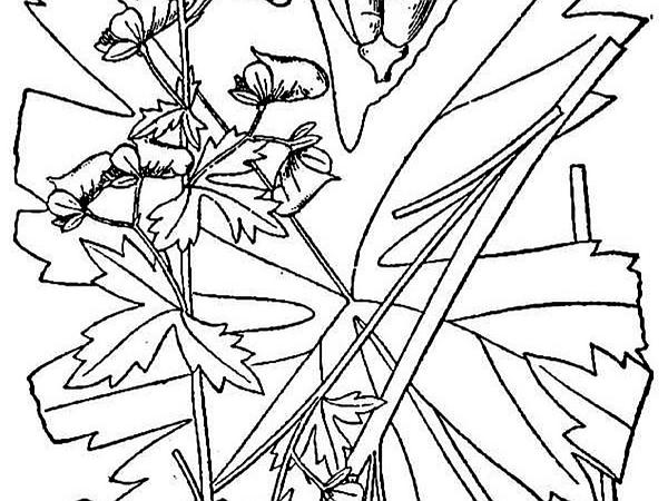 Trailing White Monkshood (Aconitum Reclinatum) http://www.sagebud.com/trailing-white-monkshood-aconitum-reclinatum