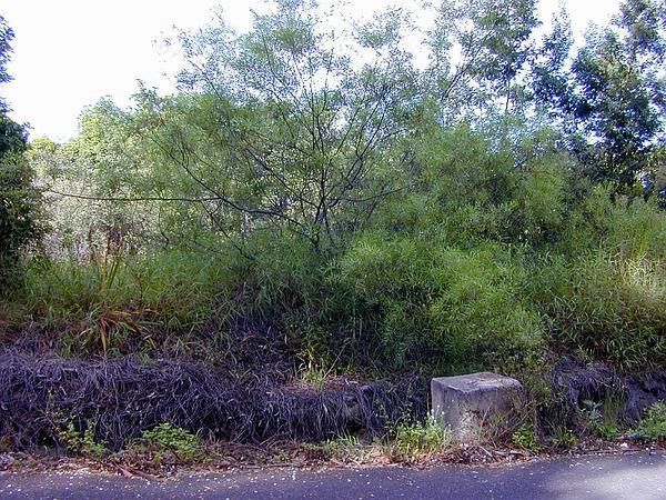 Water Wattle (Acacia Retinodes) http://www.sagebud.com/water-wattle-acacia-retinodes
