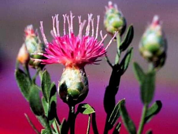 Hardheads (Acroptilon Repens) http://www.sagebud.com/hardheads-acroptilon-repens