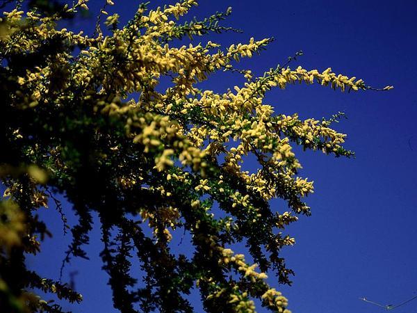 Blackbrush Acacia (Acacia Rigidula) http://www.sagebud.com/blackbrush-acacia-acacia-rigidula