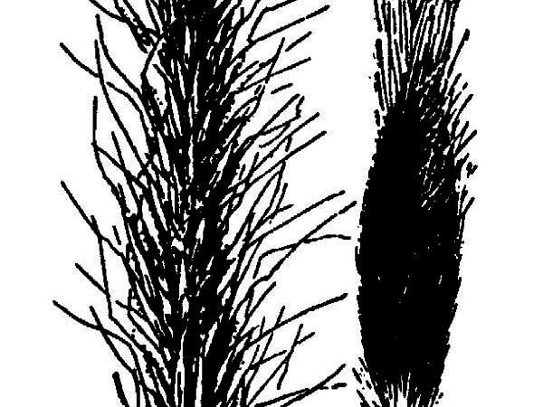 Sleepygrass (Achnatherum Robustum) http://www.sagebud.com/sleepygrass-achnatherum-robustum